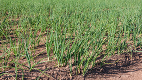 Closeup of young onion plants Stock Photos