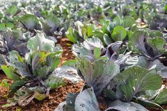 Young red cabbage plants with damaged leaves in the sunlight fro. Closeup of young organic cultivated red cabbage plants growing in soil. The leaves of the young stock photo