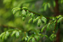 Closeup of young pine branches Stock Image