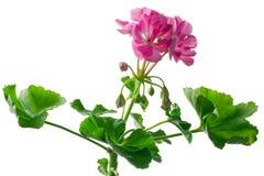 Closeup young plant of geranium � scion Stock Images