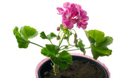 Closeup young plant of geranium in a pot – scion Stock Images