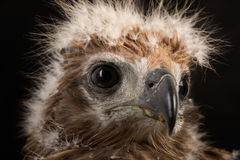 Closeup young red-backed Sea-eagle Stock Photo