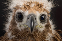 Closeup young red-backed Sea-eagle Royalty Free Stock Photos