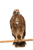 Closeup young red-backed Sea-eagle Stock Photography