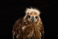 Closeup young red-backed Sea-eagle Royalty Free Stock Image