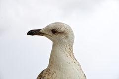 A closeup of a young seagull looking to the left stock image