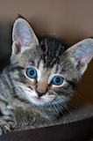 Closeup of Young Short-Haired Grey Tabby Kitten. Closeup of a young short-haired gray tabby kitten with brilliant blue eyes looking into the camera Stock Images