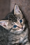 Closeup of Young Short-Haired Grey Tabby Kitten. Closeup of a young short-haired gray tabby kitten with brilliant blue eyes looking to camera right Stock Image