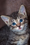 Closeup of Young Short-Haired Grey Tabby Kitten. Closeup of a young short-haired gray tabby kitten with brilliant blue eyes looking wide-eyed to camera left with Royalty Free Stock Image
