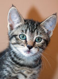 Closeup of Young Short-Haired Grey Tabby Kitten. Closeup of a young short-haired gray tabby kitten with green eyes looking into the camera isolated against a Royalty Free Stock Images