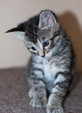 Closeup of Young Short-Haired Grey Tabby Kitten. Closeup of a sitting young short-haired gray tabby kitten with brilliant blue eyes looking down to camera left Royalty Free Stock Photos