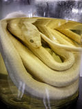 Closeup of young snake preserved in a jar Royalty Free Stock Photos