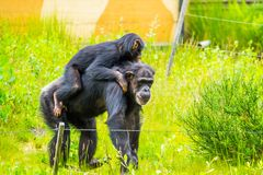 Closeup of a young western chimpanzee riding the back of an adult, critically endangered animal specie from Africa. A closeup of a young western chimpanzee stock images