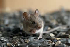 Closeup young wild mouse sits on pile of sunflower seeds in warehouse and looking away. stock photography