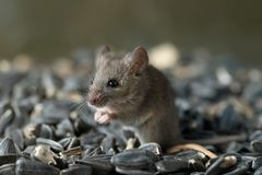 Closeup young wild mouse stands on pile of sunflower seeds in warehouse and look away. royalty free stock image