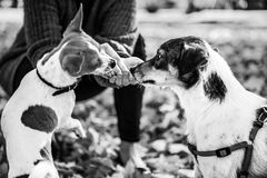 Closeup on woman feeding dogs outdoors in autumn. Closeup on young woman feeding dogs outdoors in autumn Stock Photography