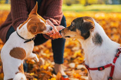 Closeup on young woman feeding dogs outdoors. In autumn Royalty Free Stock Photo