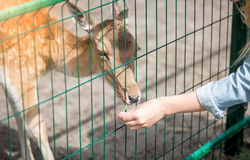 Closeup of young woman feeding young doe through fence Royalty Free Stock Photo