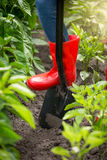 Closeup of young woman in red rubber boots digging soil with sho Stock Image