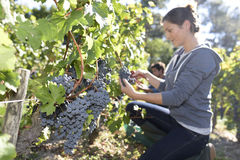 Closeup of young woman in vineyard working Royalty Free Stock Image