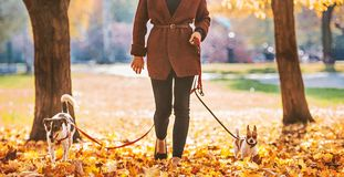 Closeup on woman walking with dogs outdoors in autumn. Closeup on young woman walking with dogs outdoors in autumn Royalty Free Stock Images