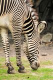 Closeup of zebra eating. Young male Grevy's Zebra eating in a South Florida zoo Stock Photos