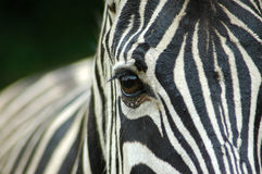 Closeup Zebra eye. A closeup of a wet zebra eye in rain Stock Image
