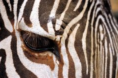 Closeup of a zebra eye Stock Photo