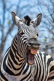 Laughing Zebra. A closeup of a Zebra that looks as if he is laughing stock photography