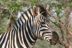 Closeup of zebra's head. Close shot of a zebra's head. Hluhluwe-Umfolozi National Park. Zululand. South Africa Royalty Free Stock Photo