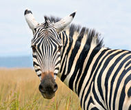 Closeup on zebra's head looking curiously Stock Images