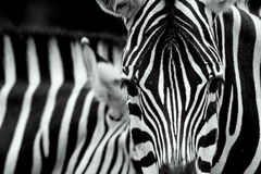 Closeup of zebra stripes. Closeup of a zebra showing its face and black and white stripes Royalty Free Stock Images