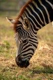 Closeup of a zebra eating grass. stock image