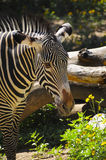 Closeup of a Zebra Stock Image