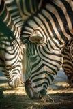 Zebra herd eating Royalty Free Stock Photography
