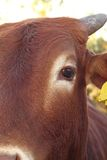 Closeup of zebu eye Royalty Free Stock Image