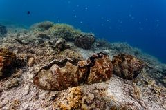 Closeup of zigzag pattern of the shell of a giant on coral reef with colorful fish royalty free stock photography