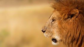 Closeupafrikan Lion Profile Banner Arkivbilder