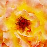 Closeupapelsin Rose Fine Art stock illustrationer