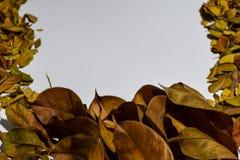 Closeupbakgrundsdesignen isolerade Autumn Leaves - stället för din design, text royaltyfria bilder