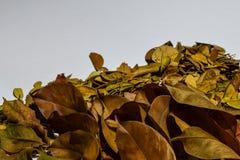 Closeupbakgrundsdesignen isolerade Autumn Leaves - stället för din design, text royaltyfri bild