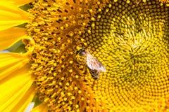 Closeupbi på solrosen Fotografering för Bildbyråer