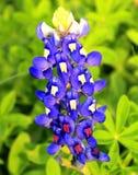 Closeupbild av en bluebonnet royaltyfri bild