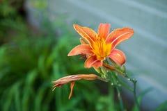 Closeupbild av en orange daylilyblomma på sidan av ett hus arkivfoton