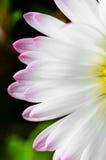 closeupblommawhite Arkivfoton