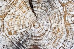 Closeupcirklar av den högg av trädstammen arkivbild