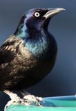 closeupcommongrackle Royaltyfri Bild