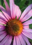 closeupconeflower Arkivbilder