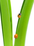 closeupdagg tappar den gröna nyckelpigaleafen Royaltyfri Fotografi