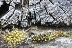 Closeupdetalj av den gamla stubben med Moss Detail arkivbilder